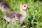 Baby Duck - 188026336