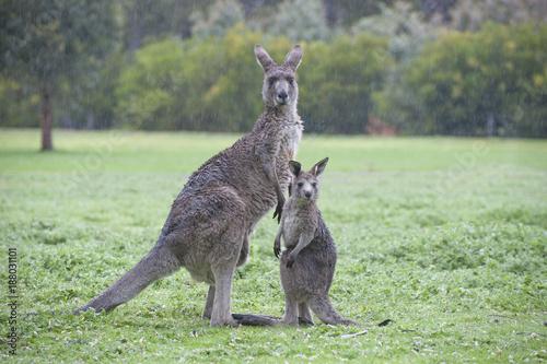 Foto Murales Enimals eastern grey kangaroos with joey in   Grampians national park, Victoria, Australia.