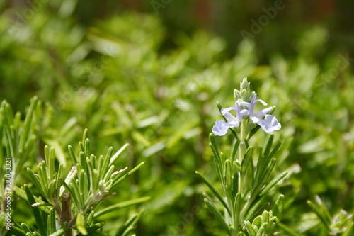 New Rosemary flower