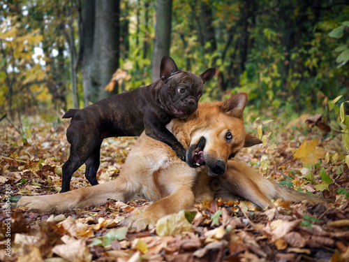 Fototapeta Dogs playing in the autumn forest