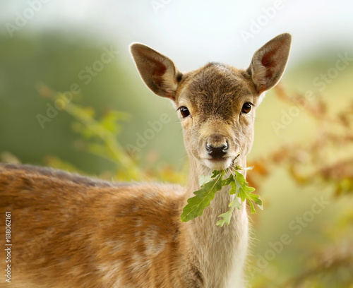Fallow deer fawn eating a leaf