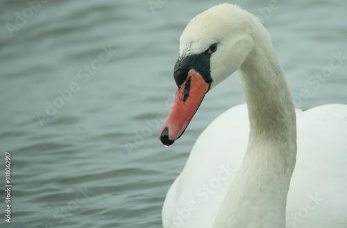Fotobehang Zwaan White swan close up