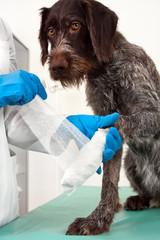 hands of veterinarian bandaging paw of dog