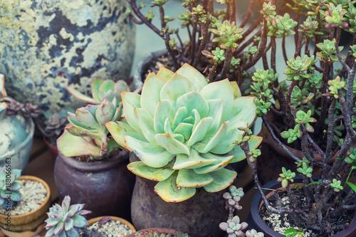 Foto Murales  Miniature succulent plants in garden
