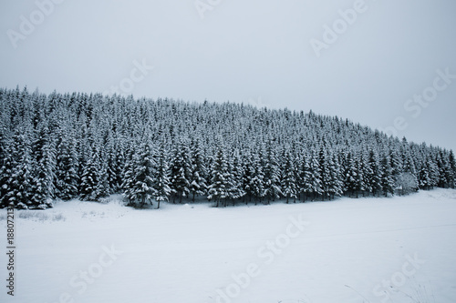 Foto op Canvas Natuur Thick evergreen forest in winter