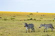 Herd of zebras grazing in the savannah of Maasai Mara Park in Kenya