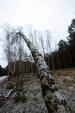 huge birch tree  bended trunk and bright sky