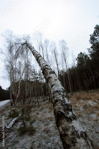 huge birch tree  bended trunk and bright sky - 188085350
