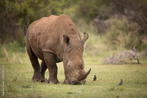 Fotobehang Neushoorn White rhino grazing