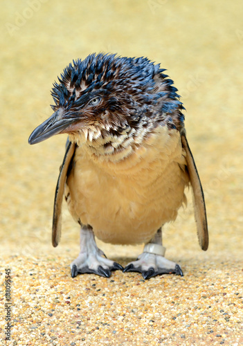 Fotobehang Pinguin Little Penguin also known as Blue Penguin found in coastal areas in Australia near Sydney and Melbourne as well as New Zealand