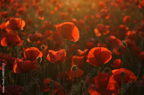 Papiers peints Rouge mauve Red poppy at afternoon sunlight