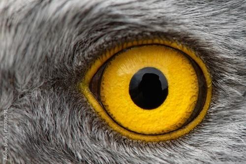 Plexiglas Eagle eagle eye close-up, macro photo, eye of the male Northern Harrier