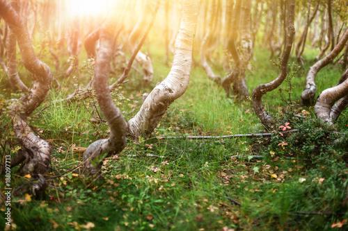 Knorrige Birken in einem skurrilen Wald an der Baumgrenze im Gebirge