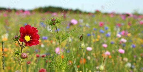 Jachère fleurie - 188117178