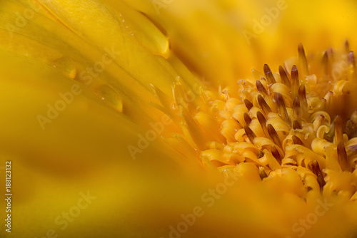 Gerbera Yellow macro - 188123132