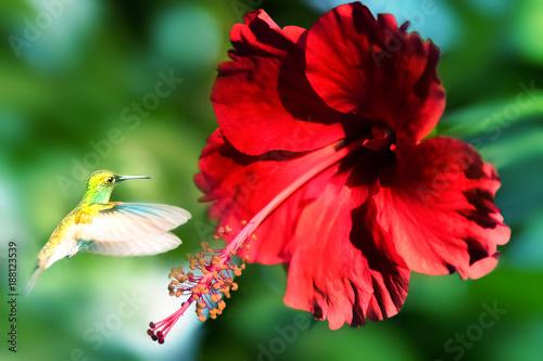 Mały fantastyczny ptak w locie przeciw tłu jaskrawy piękny czerwony duży tropikalny kwiat. Artystyczny obraz wiosny.