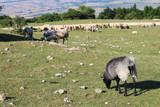 Sheep eating grass on mountain - 188131185