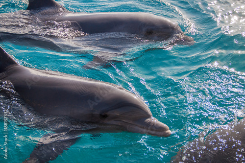 Fotobehang Dolfijn The yong Bottlenose dolphins are swimming in red sea