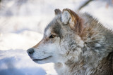 Side Picture Of Gray Wolf