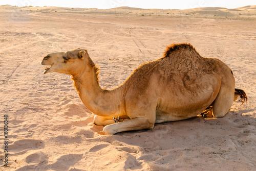 Fotobehang Kameel Camel lying on the sand in a desert