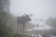 Moose with Fog