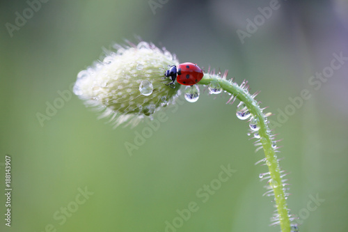 Small Red Ladybug likes the smell of red poppies  - 188143907