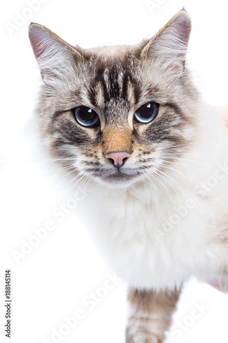 Foto Murales beautiful Siamese cat with blue eyes closeup. white background.