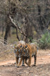 Cuddling Moment of Tiger and Cub from Ranthambore Tiger Reserve Rajasthan India