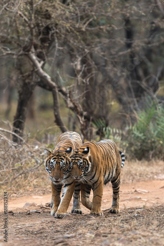 Aluminium Tijger Cuddling Moment of Tiger and Cub from Ranthambore Tiger Reserve Rajasthan India