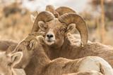 A Herd of Bighorn Sheep Near Patterson, Idaho. - 188152934