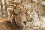 Two Rocky Mountain Bighorn Ewes in Central Idaho - 188152992