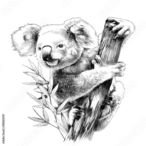 Koala sitting on a eucalyptus snag eats sketch vector graphics monochrome drawing