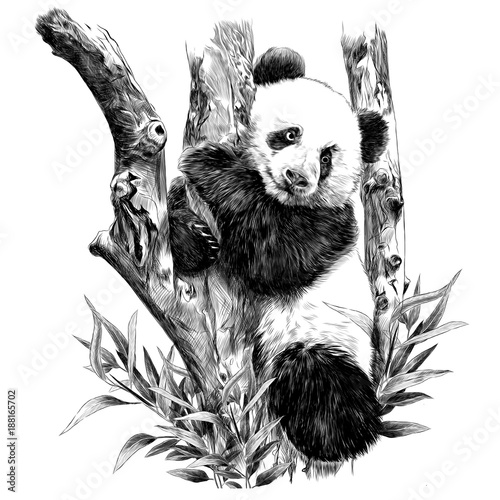Panda rests on a branch hugging the sheets of sketch vector graphics monochrome black-and-white picture