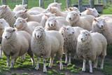 Sheep - 188169940