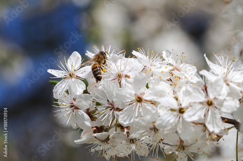 Bee on plum blossoms. - 188170934