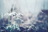 Close up of snowdrops flowers, spring time outdoor nature. Muted colors
