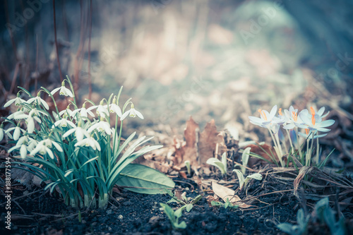 Spring landscape with snowdrops and  crocuses flowers, outdoor springtime nature in garden or park