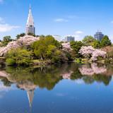 Shinjuku Gyoen mit Kirschblüten im Frühling, Tokyo, Japan - 188177750