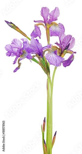 Fotobehang Iris bunch of small lilac iris flowers on white