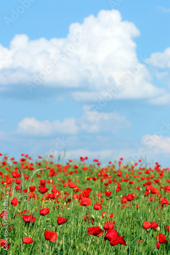 Poppies flower meadow and blue sky with clouds landscape spring season - 188182326