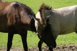 Fototapeta Horses - Czułe konie © Szafek26