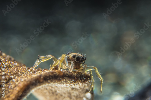 Bokeh background macro spider on a branch. - 188188153