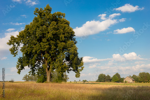 Foto Murales Lonely tree on the field in summer day