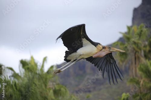 Foto Murales Marabu (Leptoptilos crumeniferus)  im Flug