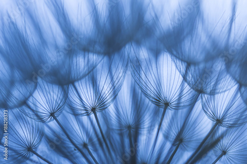 Extreme closeup of dandelion in blue light - 188218373
