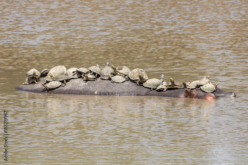 Foto op Canvas Natuur Turtles on Hippo