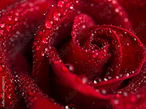 Close-up image of droplets on beautiful blooming red rose flower, Selective focus and shallow DOF, Valentine day concept - 188226374