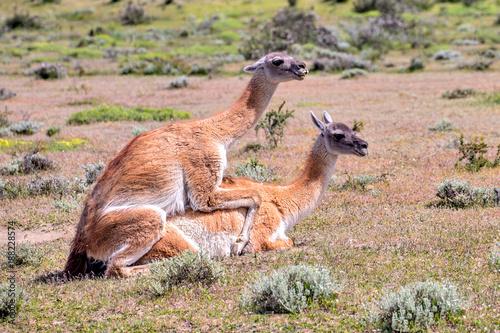 Fotobehang Kangoeroe Guanako, Patagonia, South America chile