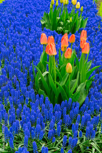 Deurstickers Donkerblauw Tulips and bluebell flowerbed