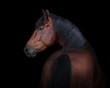 Bay horse look back isolated on black background - 188251744